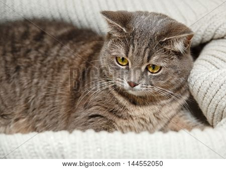 The Scotch Grey Cat is Lying in the Knitted White Sweater.Beautiful Look.Animal Fauna,Interesting Pet.