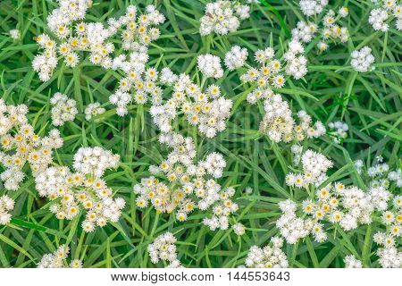 Above pretty white flowers blooming on a green grass meadow. Wild floral nature background.
