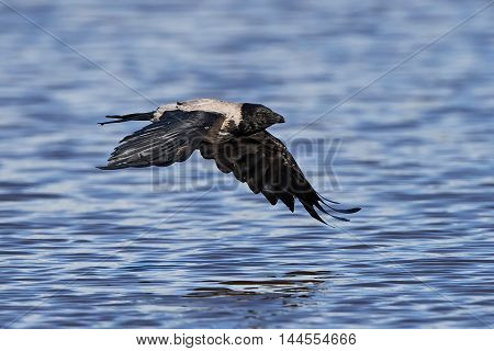 Hooded crow (Corvus cornix) in flight with blue water in the background