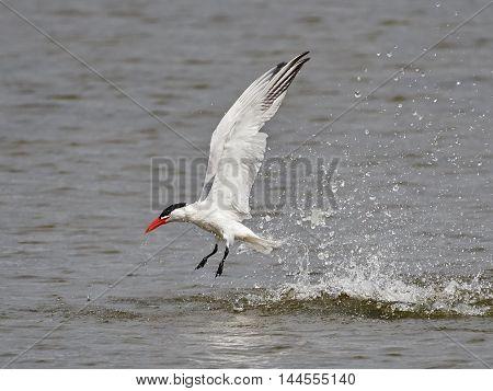 Caspian tern (Hydroprogne caspia) in flight after a dive with water drops around it