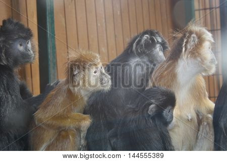Monkeys - Lutungi Javanese - sit and look to the right, in a cage at the zoo. Photo from behind the glass.