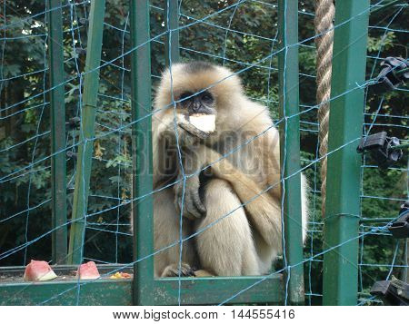 Monkey - Gibbon - sits and eats fruit in a cage at the zoo