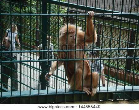 Gdansk, Poland - July 12, 2009: Monkey - Lutung Javanese - sitting on the fence at the zoo. Behind bars, people visiting the zoo.
