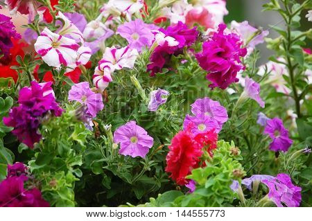 Background With Pink Flowers Petunia Closeup