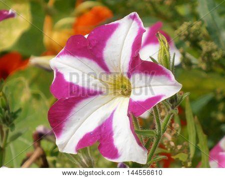 Flower striped pink white Petunia closeup in the garden