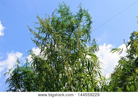 Cannabis plants on the blue sky background