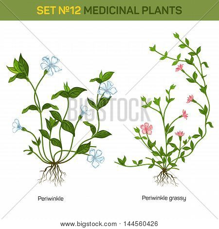 Blossom of herbal periwinkle with branch and flowers, inflorescence on stem and leaves on twig. Decorative garden bush. Good for usage in botany floral books, medicine and healthcare themes