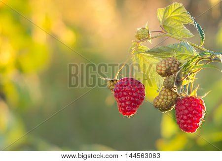 Raspberries. Growing Organic Berries closeup. Ripe raspberry in the fruit garden