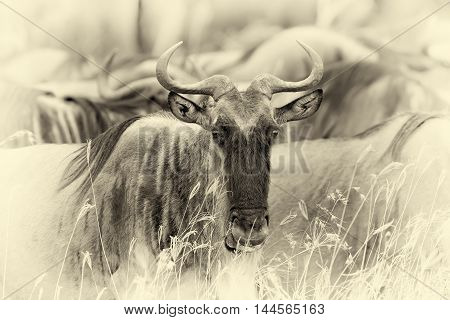 Wildebeest In National Park Of Africa. Vintage Effect
