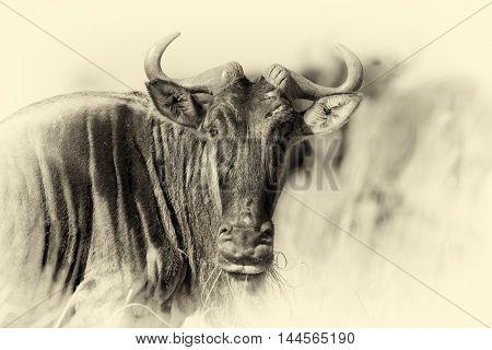 Wildebeest, National Park Of Kenya. Vintage Effect