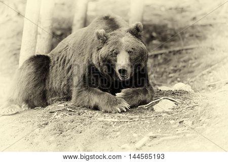 Brown Bear (ursus Arctos) In Nature. Vintage Effect