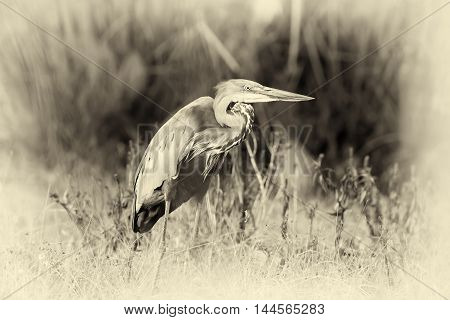 Close Up Gray Heron In A Grass. Vintage Effect