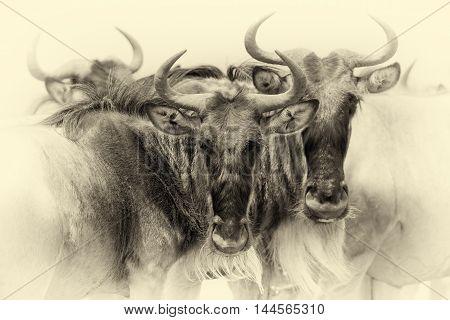 Portrait Of A Wildebeest, National Park Of Kenya. Vintage Effect