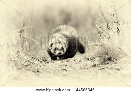 Wild Polecat In Forest. Vintage Effect