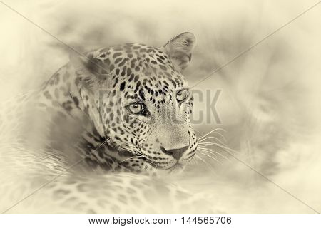 Leopard In The Wild. Vintage Effect