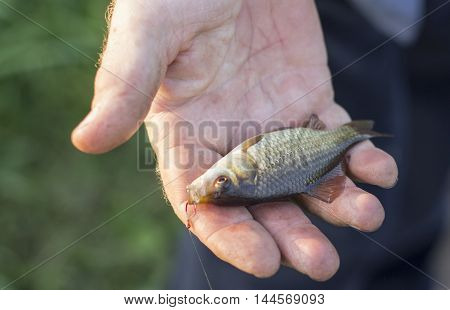 Crucian carp in fisherman's hands, sunset soft light.