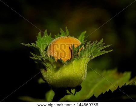 Ripe hazelnut on hazelnut tree in deciduous forest in wild nature