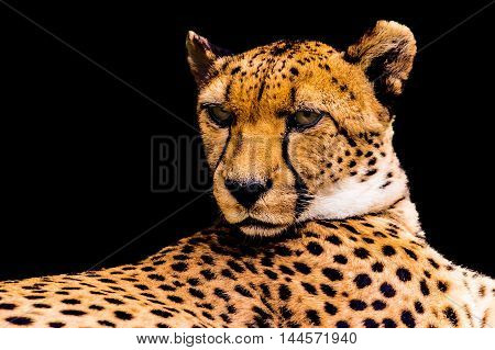 Portrait of a cheetah isolated on black background