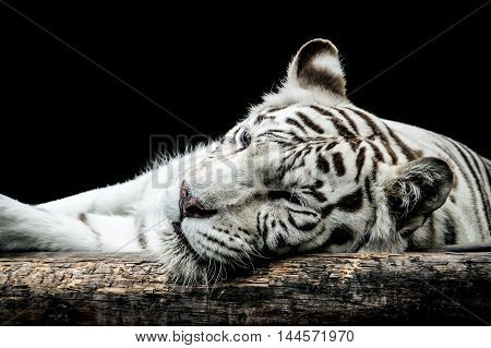 Portrait of a white tiger isolated on black background