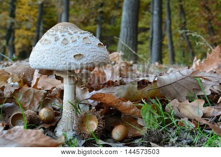 Exelent edible small specimen of Macrolepiota mushroom lot of fallen leaves and oak acorn with autumn oak forest in background
