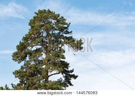 pine on the background of clear blue sky