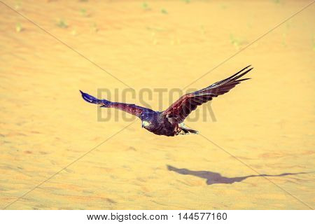 Harris Hawk flying over dunes in Dubai Desert Conservation Reserve, UAE