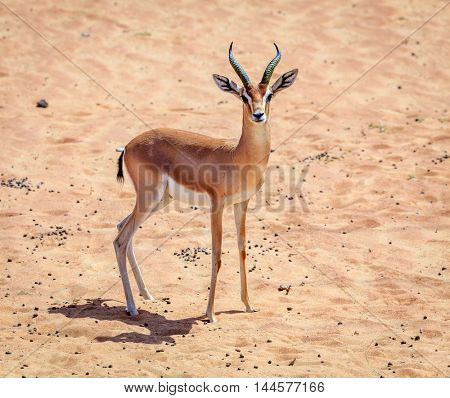 Arabian Gazelle in the Desert Conservaiton Reserve near Dubai, UAE