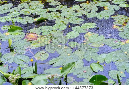 Yellow water lily and Bunch of water leafs blooming in the river in a wet summer day.Aquatic vegetation water plants. Summer flowers.(Nuphar lutea)