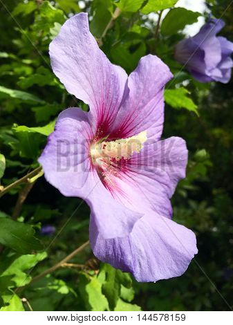 Flower head with pollen from a purple hibiscus in closeup