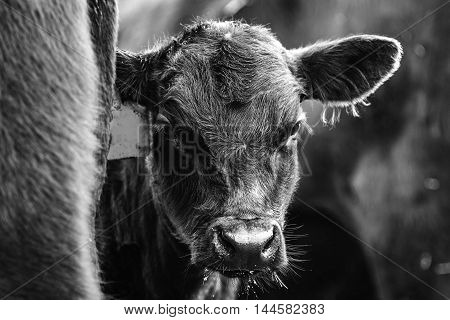 Black and white image of a calf peeking from behind his mother
