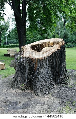 Big tree stump in the park in Finland