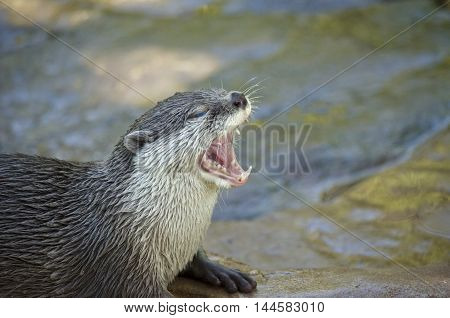 this is a close up of an oriental otter