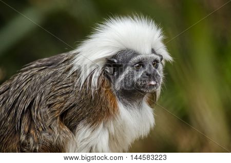 this is a close up of a cotton top tamarin