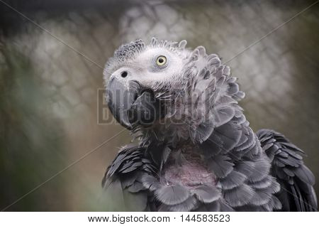 this is a close up of a african grey parrot
