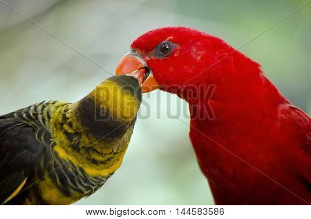 the dusky lory and the chattering lory look like they are kissing