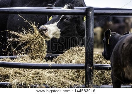 Black Angus crossbred cow eating hay in a round hay feeder