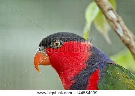this is a close up of a black capped lory