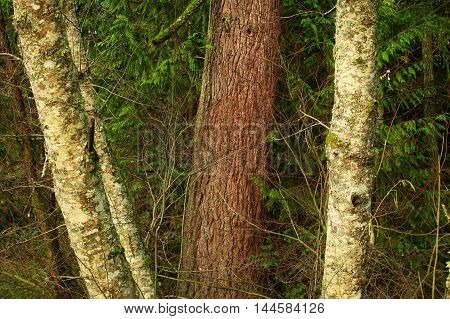 a picture of an exterior Pacific Northwest forest of Alder and Douglas fir trees