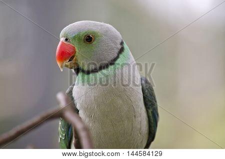 this is a close up of malabar parakeet