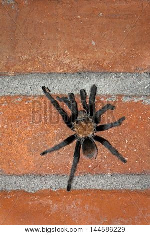 A male desert tarantula climbs a brick wall in the Sonoran desert. You can see his mating hooks. There is room for copy above him