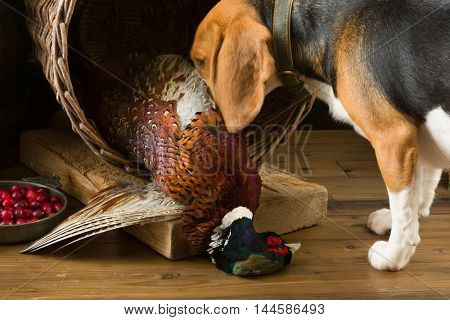 Young Beagle having a first experience as a hunting dog
