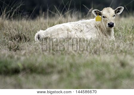A blond calf with a yellow ear tag lying in a dormant Bermuda grass pasture