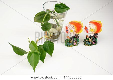 Bottle Of Epipremnum Aureum And Golden Fish