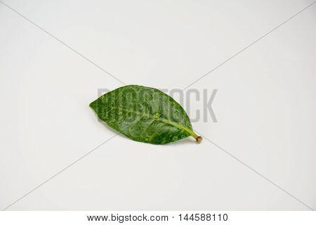Close Up Green Single Leaf