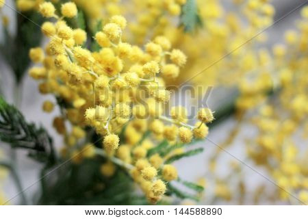 southern plant as a spring bouquet of mimosa
