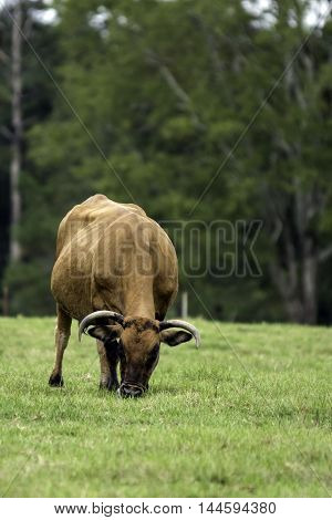 Brown horned cow grazing head-on view with blank area to the right vertical format