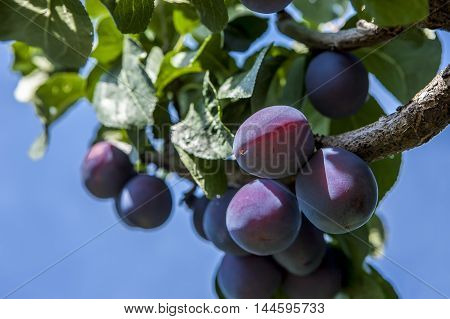 Close up of a cluster of plums on a plum tree.