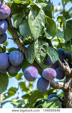 Plums on a tree. Close up of a cluster of plums on a plum tree.