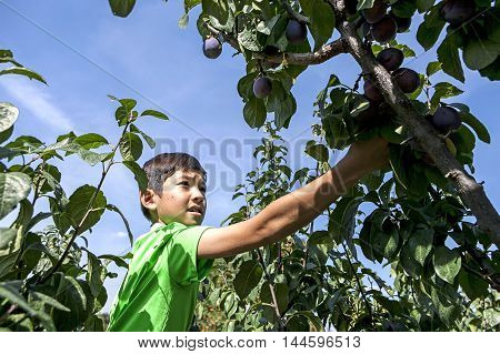 Boy picks plums. A young boy has fun picking fresh plums off of a plum tree.
