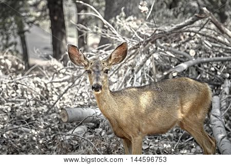 Arizona Mule Deer in the forest wilderness